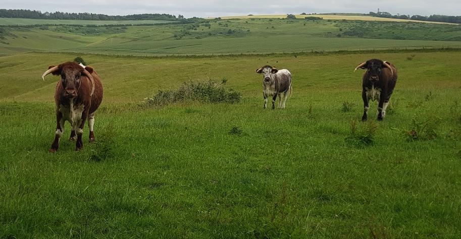 Three longhorn bulls in a field