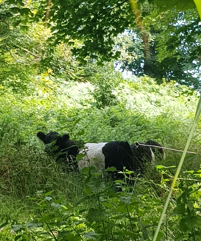 Miniature Belted Galway Cows in Woodland